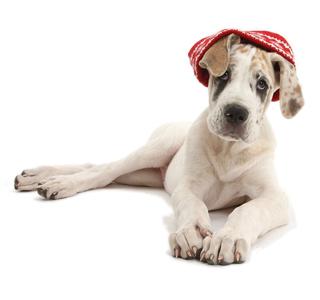 Christmas Great Dane Puppy